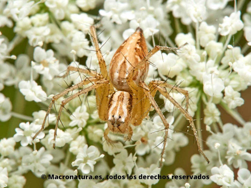 Arañas del género Oxyopes sobre una flor de zanahoria salvaje mirando hacia abajo.
