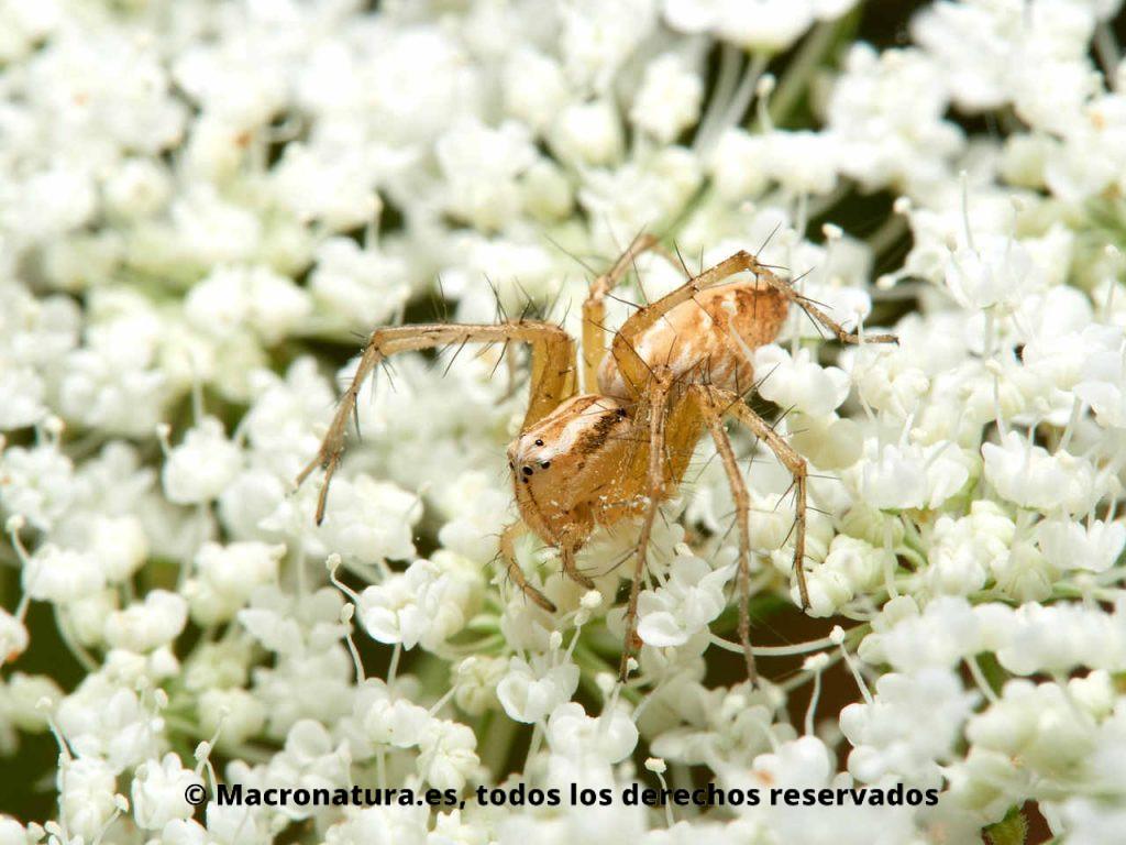 Arañas del género Oxyopes sobre una flor de zanahoria salvaje.