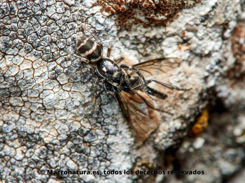 Araña cebra género Salticus con un díptero atrapado.