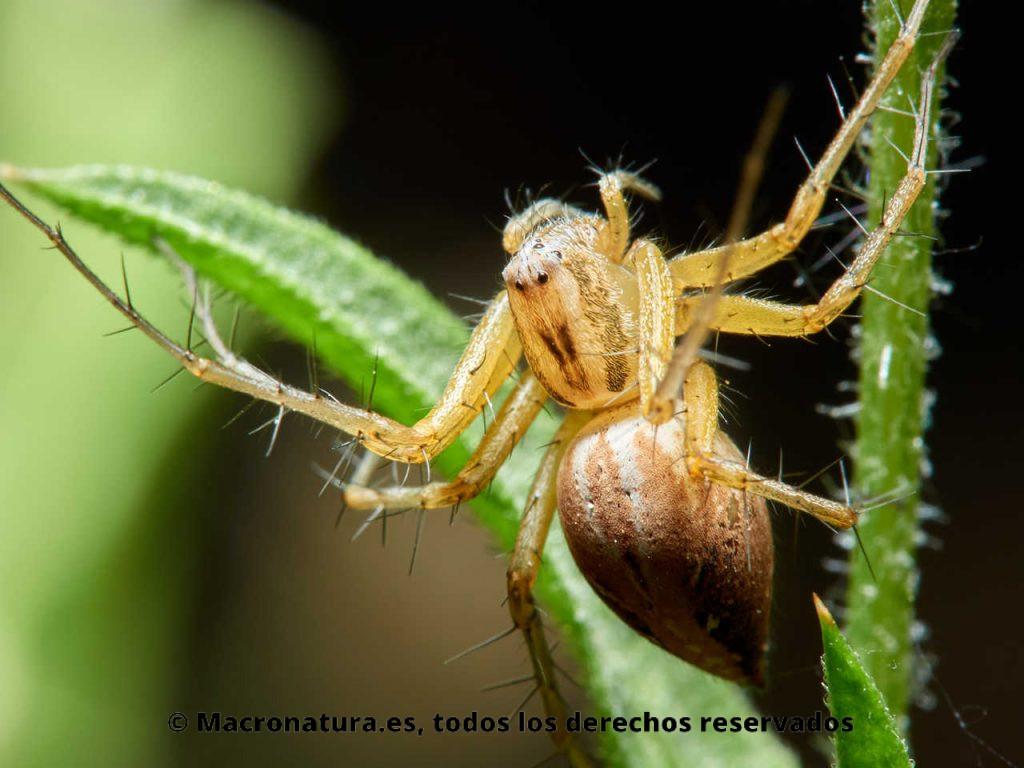 Arañas del género Oxyopes sobre un tallo mirando hacia arriba.