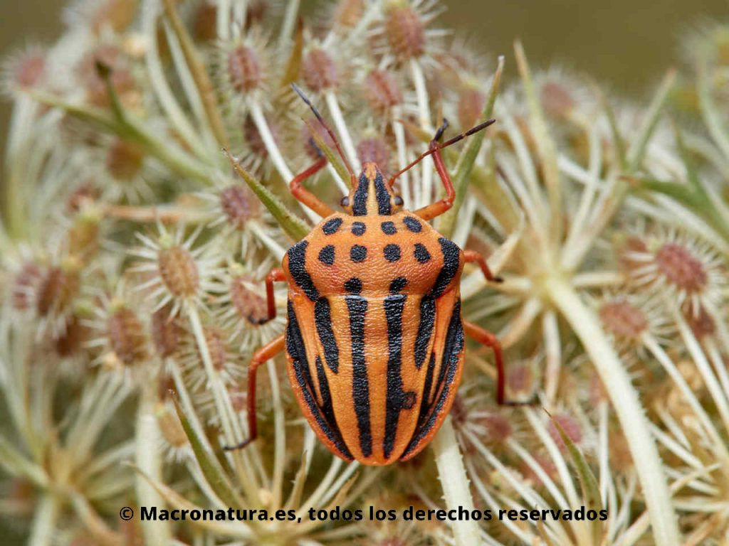 Chinche punteada Graphosoma semipunctatum. Puntos y rayas negras con un fondo naranja