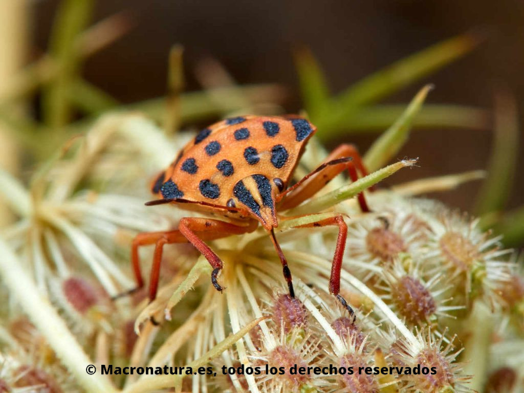 Chinche punteada Graphosoma semipunctatum alimentándose de semillas. Vista frontal.