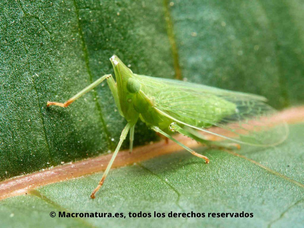 Insectos hemípteros del género Dictyophara alimentándose a través del floema de una hoja