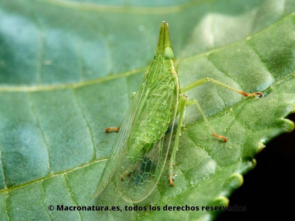Insectos hemípteros del género Dictyophara sobre la hoja de una planta. Vista dorsal.