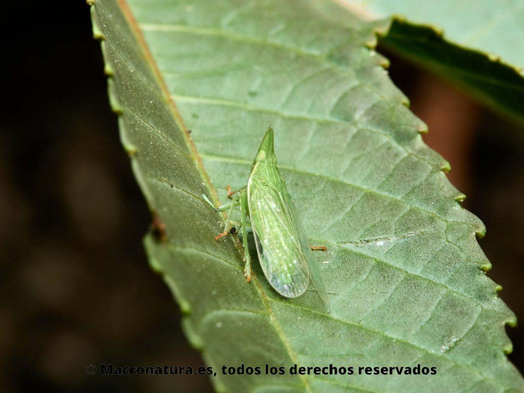 Insectos hemípteros del género Dictyophara sobre la hoja de una planta