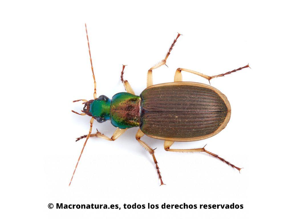 Escarabajos Carábidos del género Chlaenius. Vista cenital.