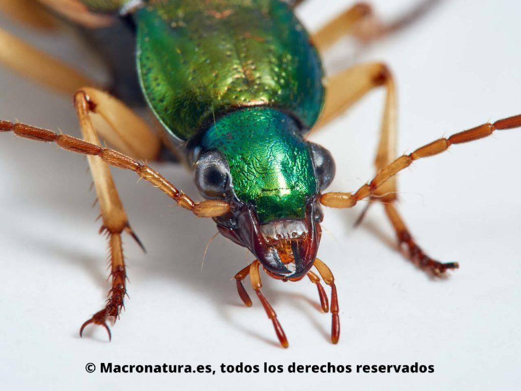 Escarabajos Carábidos del género Chlaenius. Vista frontal. Detalle de ojos, mandíbula y antenas y palpos.