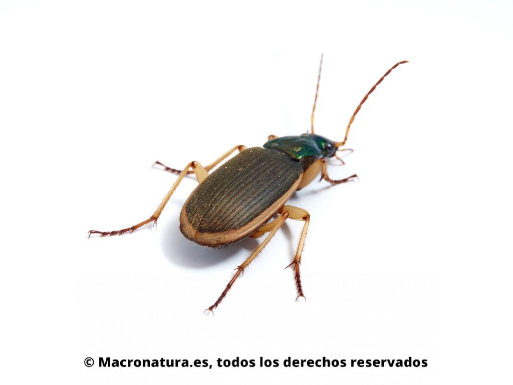 Escarabajos Carábidos del género Chlaenius. Vista trasera. Detalle de élitros.