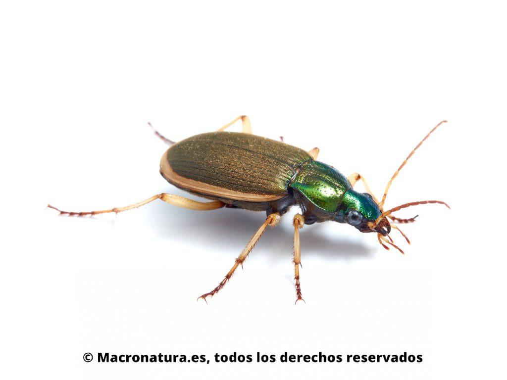 Escarabajos Carábidos del género Chlaenius. Vista lateral.