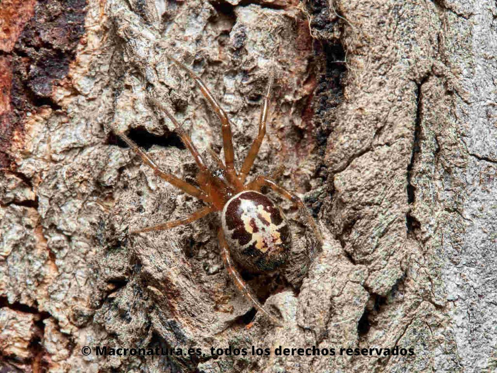 Falsa Viuda Negra Mordedora Steatoda nobilis sobre la corteza de un árbol con la cabeza hacia arriba.