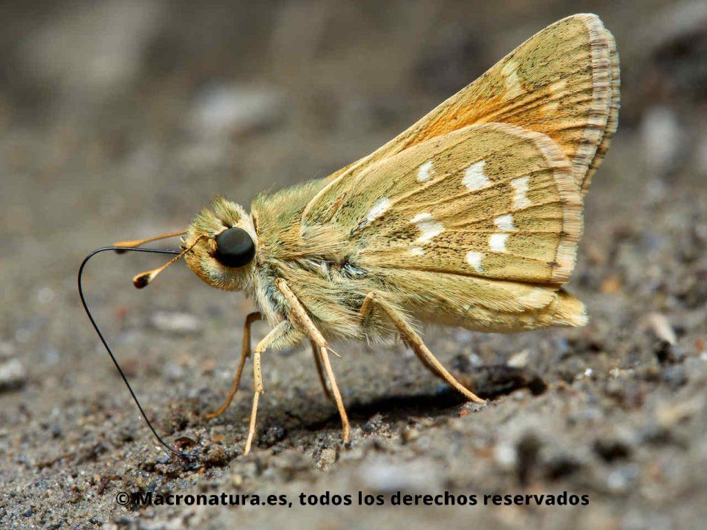 Mariposa Dorada manchas blancas Hesperia comma alimentándose de sales minerales en la orilla de un río.