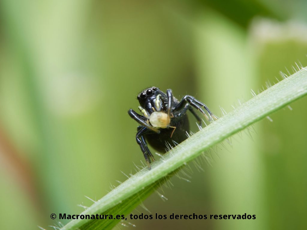 Arañas saltarinas del género Heliophanus. Hembra con un pulgón sobre un tallo.