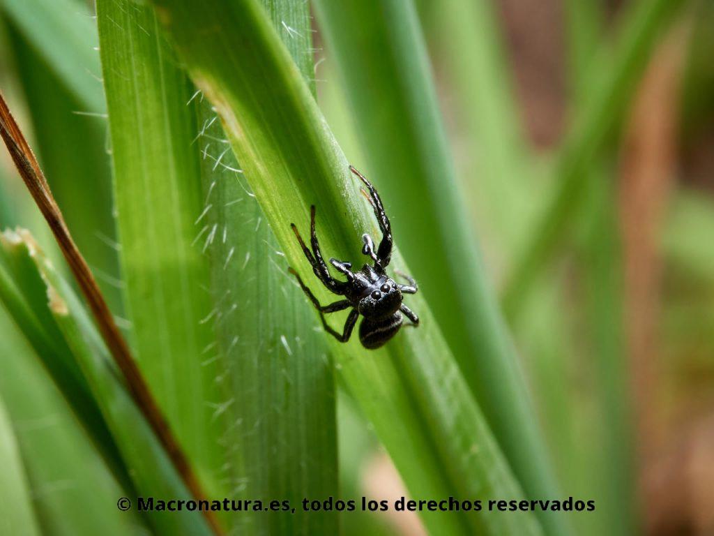 Arañas saltarinas del género Heliophanus. Macho
