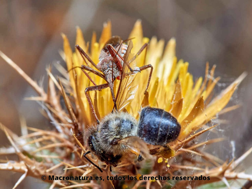 Chinche asesina Rhynocoris erythropus deprendando una abeja.