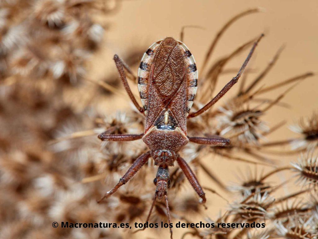 Chinche asesina Rhynocoris erythropus. Detalla de cuerpo.