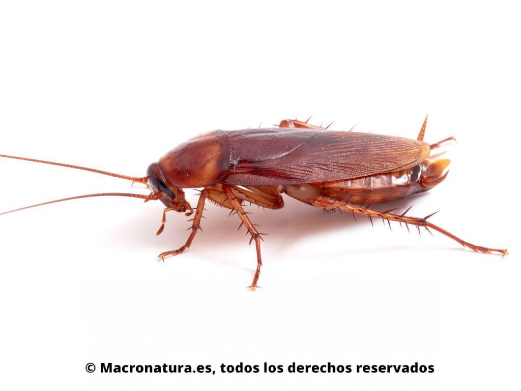 Cucaracha americana Periplaneta americana. Primer plano vista lateral.
