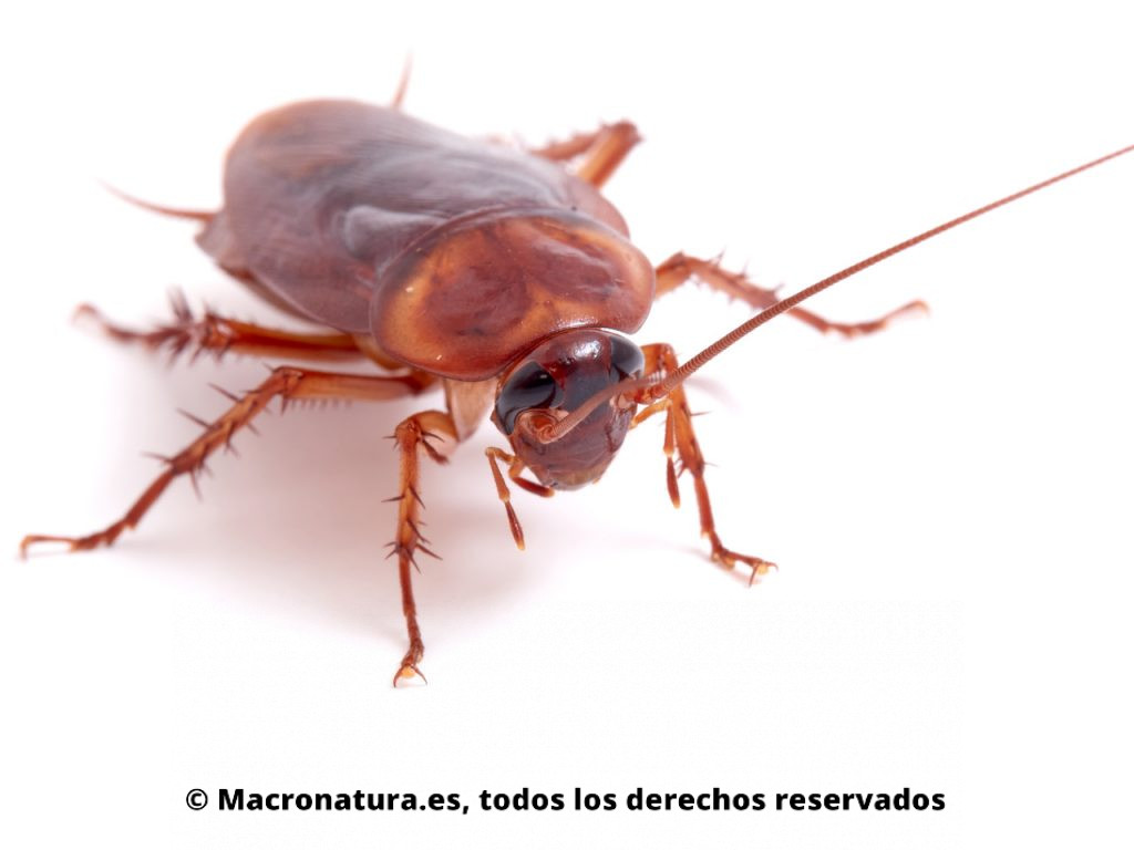 Cucaracha americana Periplaneta americana. Vista frontal.