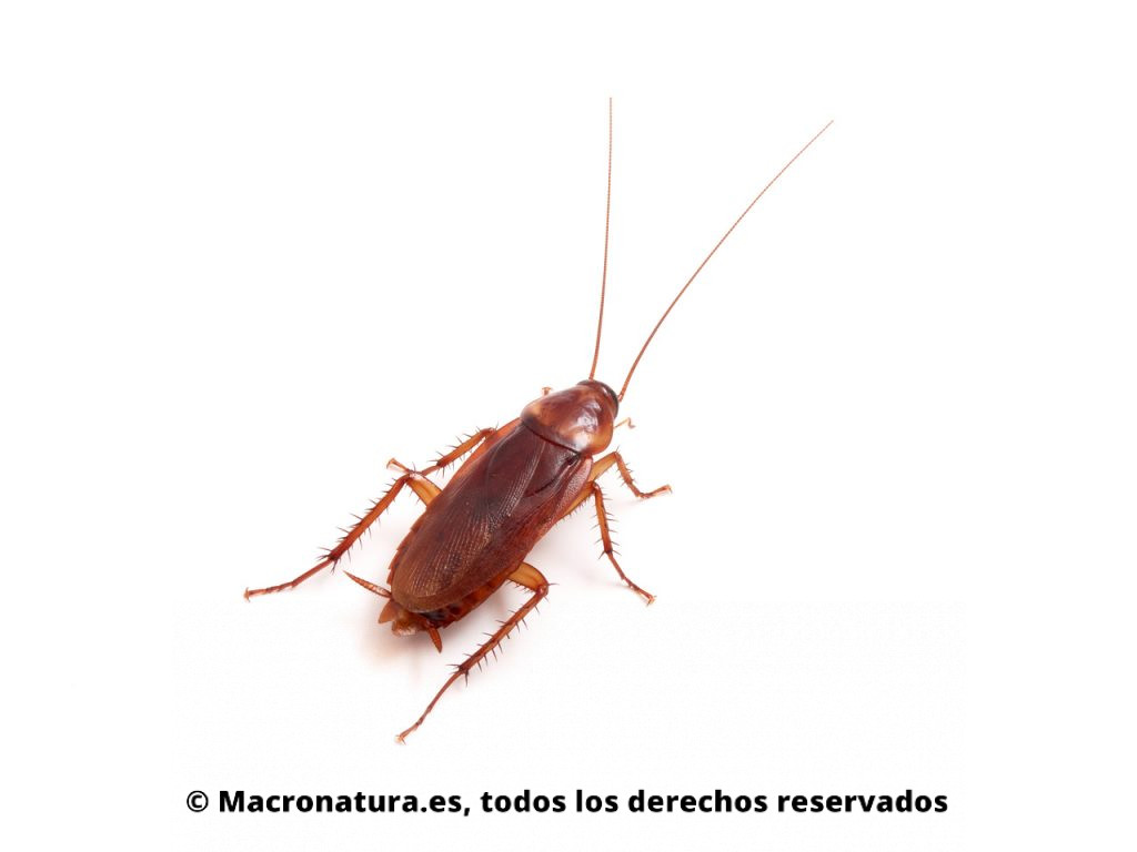 Cucaracha americana Periplaneta americana. Vista dorsal.