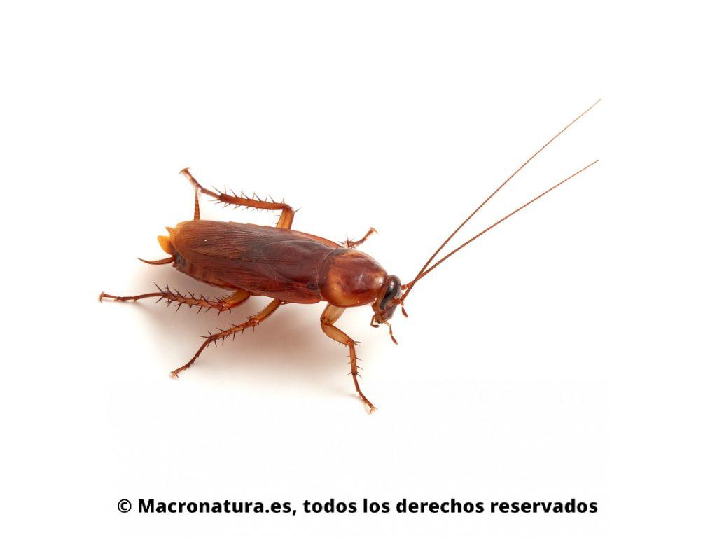 Cucaracha americana Periplaneta americana. Vista lateral.
