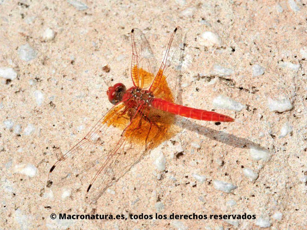 Libélula Trithemis kirbyi macho en el suelo