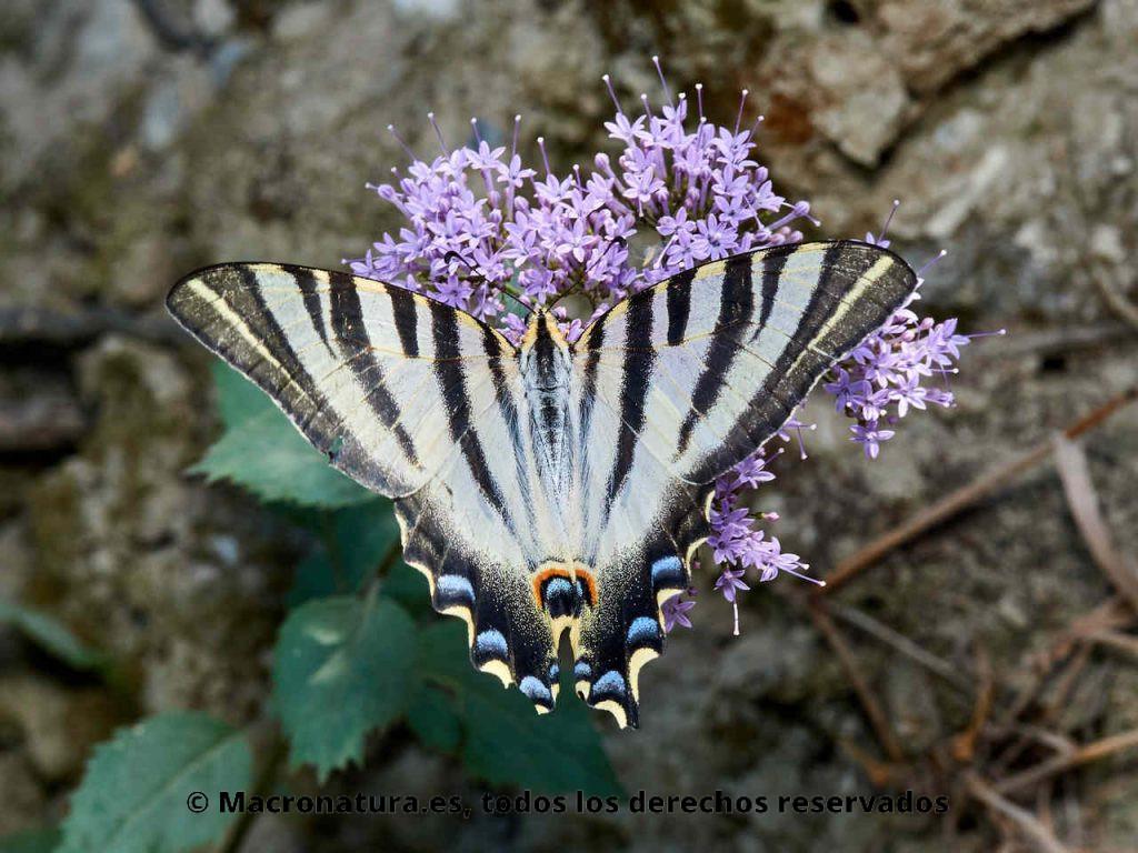 Mariposa Chupaleche Iphiclides feisthamelii sobre una flor. Vista cenital.