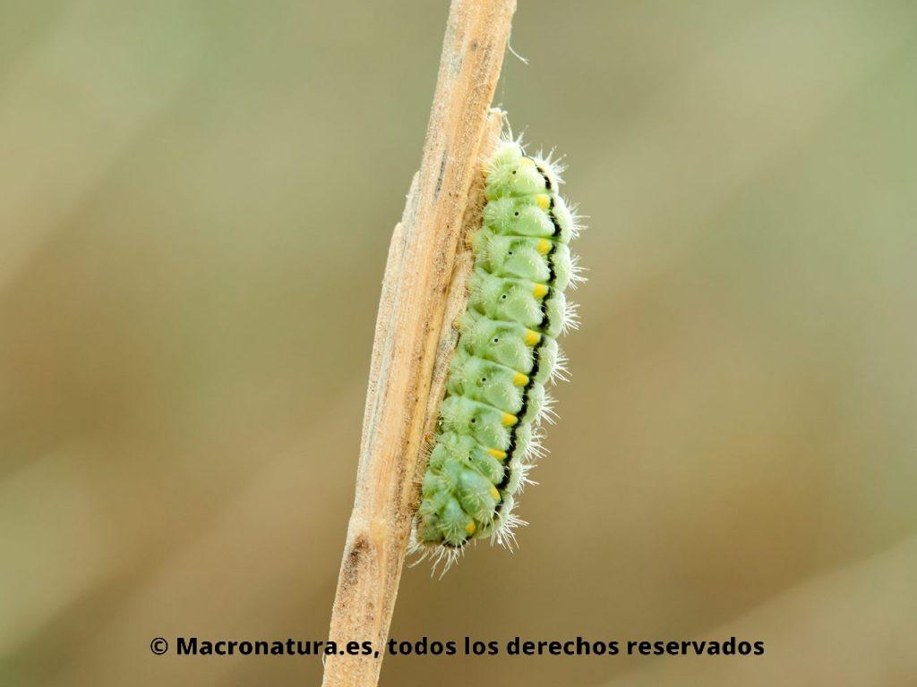 Oruga, larva, Polilla gitanilla occidental Zygaena occitanica