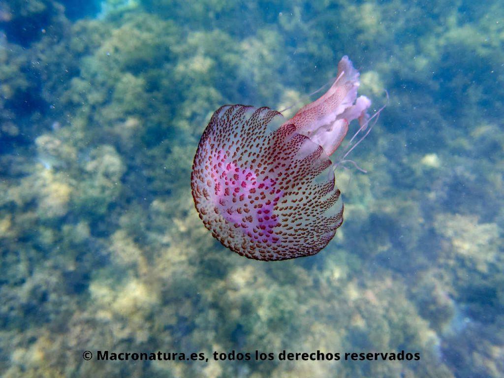 Medusa clavel Pelagia noctiluca en el mar. Detalle de umbrela.