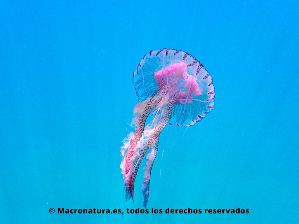 Medusa clavel Pelagia noctiluca en el mar azul.