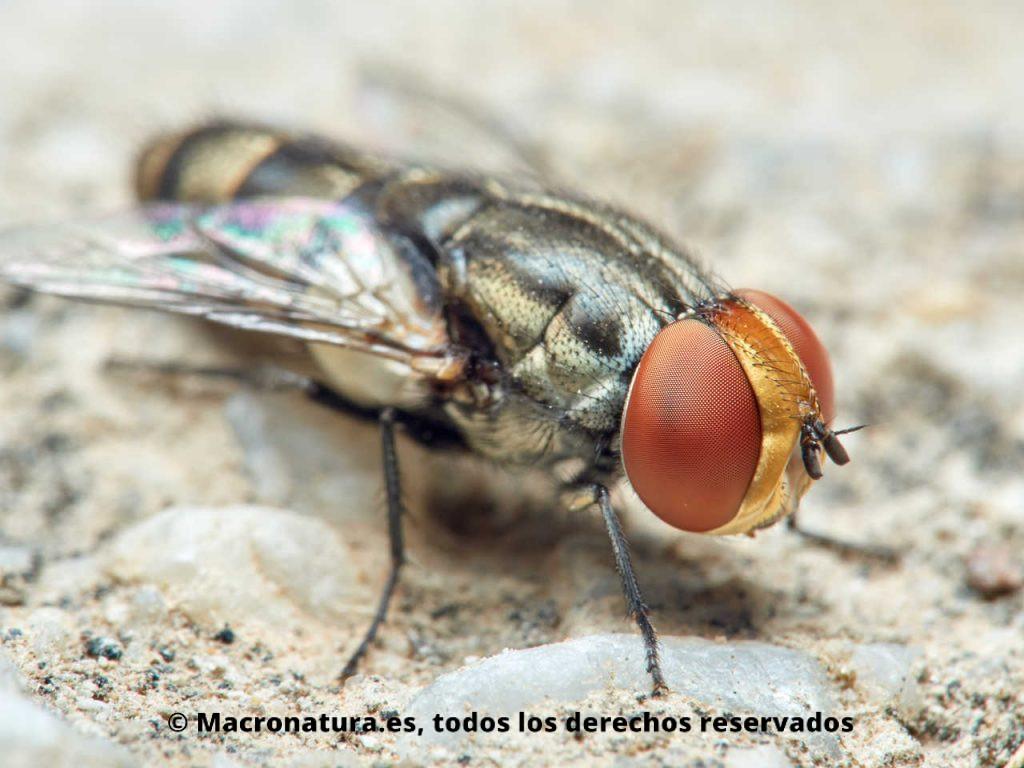 Moscas del género Miltogramma. Vista lateral. Detalle de ojos y cabeza amarilla.