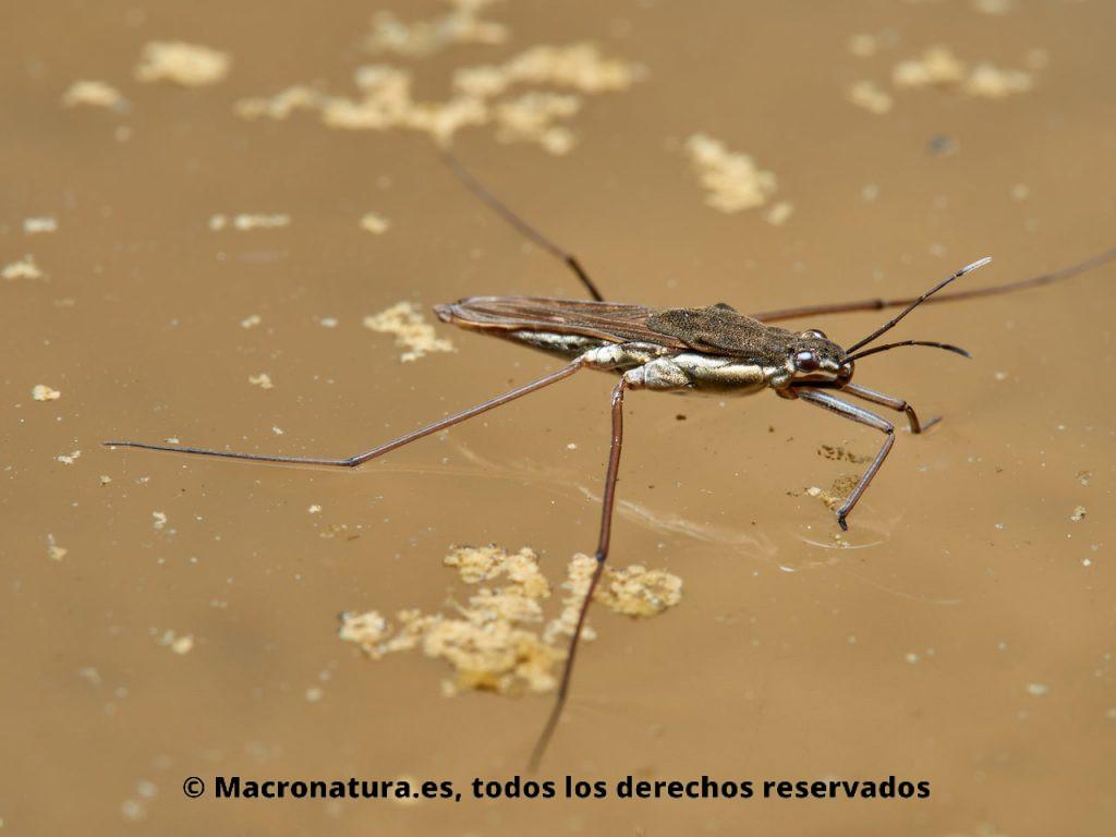 Zapateros de agua Familia Gerridae. Vista lateral.
