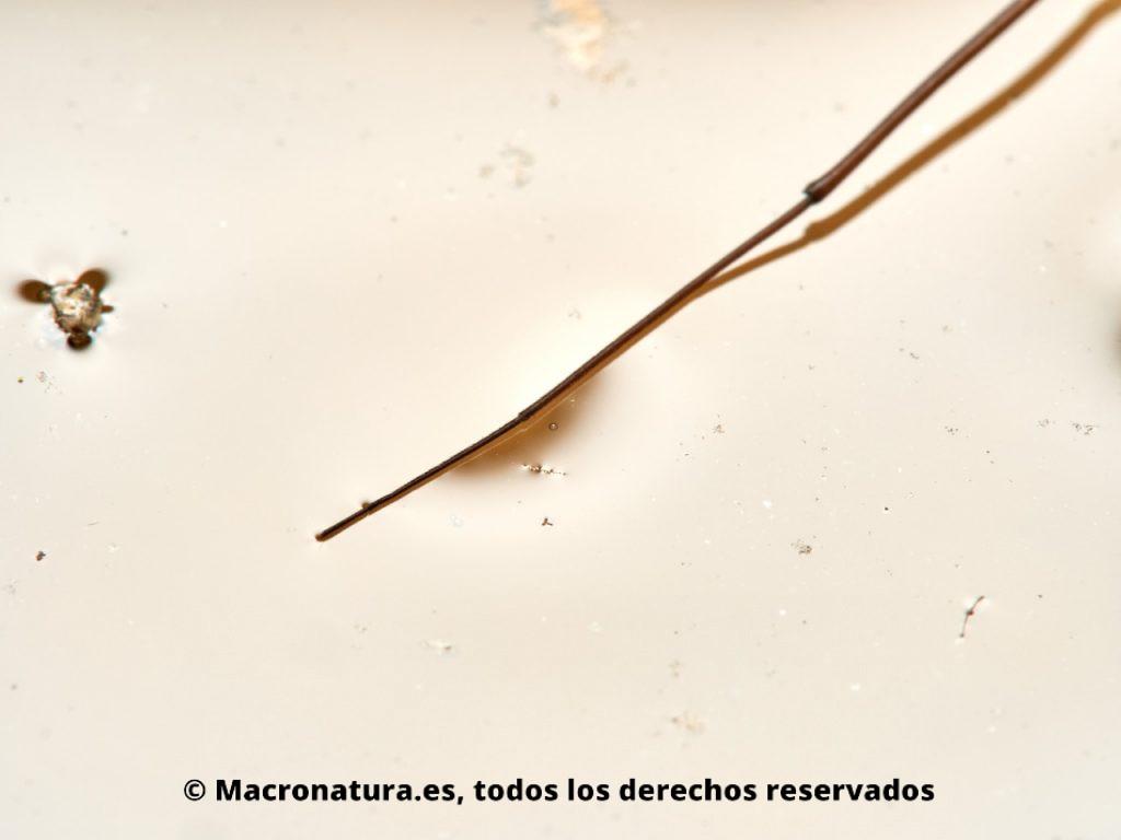 Zapateros de agua Familia Gerridae. Detalle de pata sobre la superficie del agua.