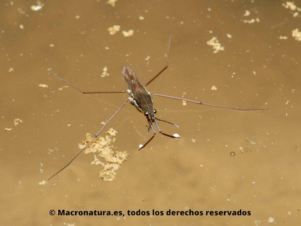 Zapateros de agua Familia Gerridae. Vista fronto dorsal.