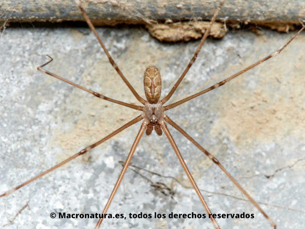 Araña de bodega Holocnemus pluchei. Araña de patas largas.