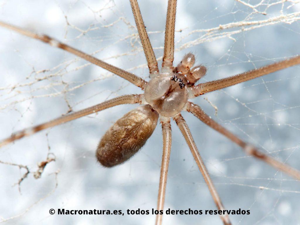 Araña de bodega Holocnemus pluchei. Detalle de abdomen y cefalotórax.