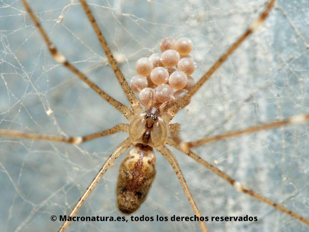 Araña de bodega Holocnemus pluchei con los huevos en los quelíceros.