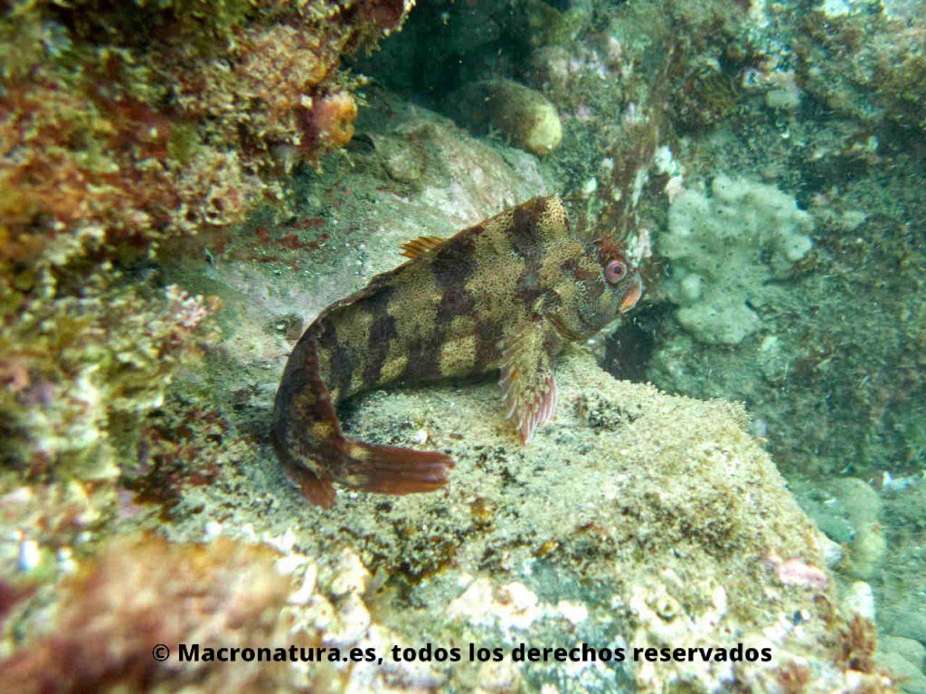Blenio del mediterráneo Parablennius gattorugine. Cuerpo entero.