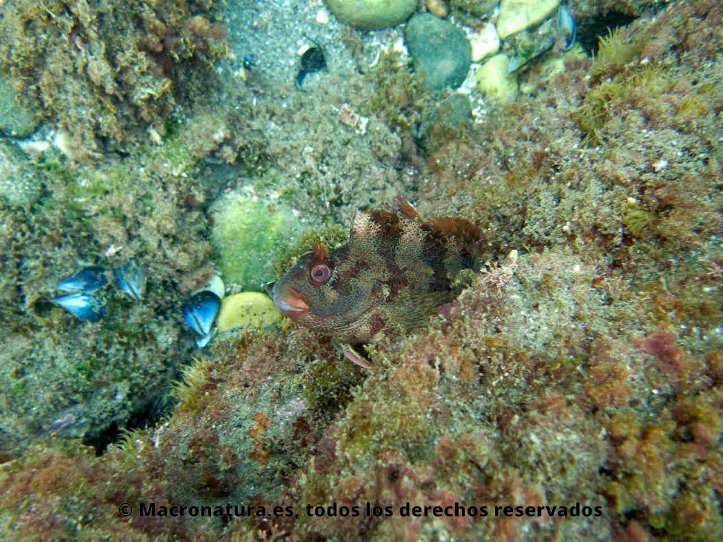 Blenio del mediterráneo Parablennius gattorugine escondido en un hueco de una roca.