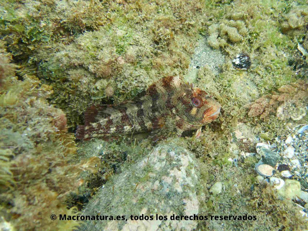 Blenio del mediterráneo Parablennius gattorugine entre algas y rocas