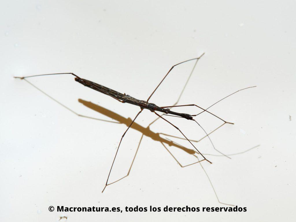 Chinche acuática Hydrometra stagnorum sobre sus patas en la superficie del agua de un río.