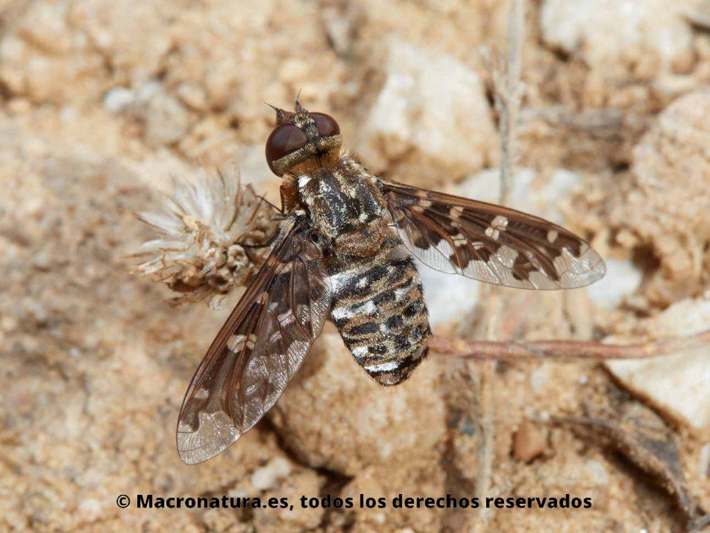Moscas abejorros del género Exoprosopa