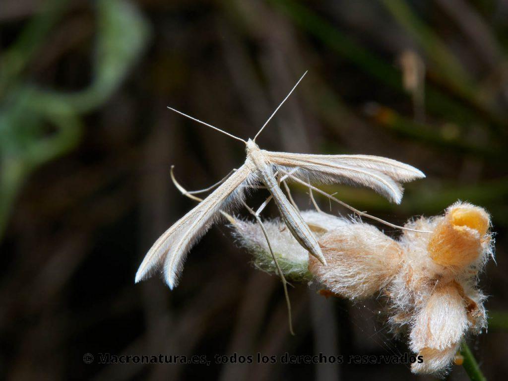 Polillas Pluma Familia Pterophoridae. Vista dorsal.