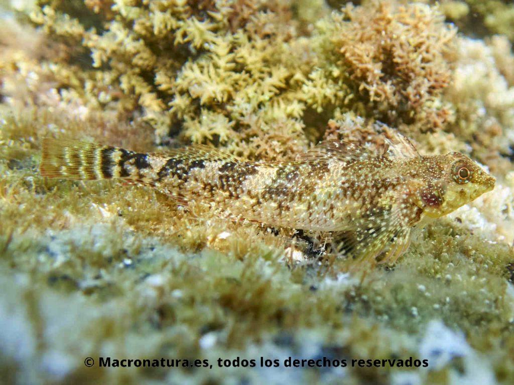 Blenio del mediterráneo Tripterygion tartessicum. Cuerpo entero de una hembra.