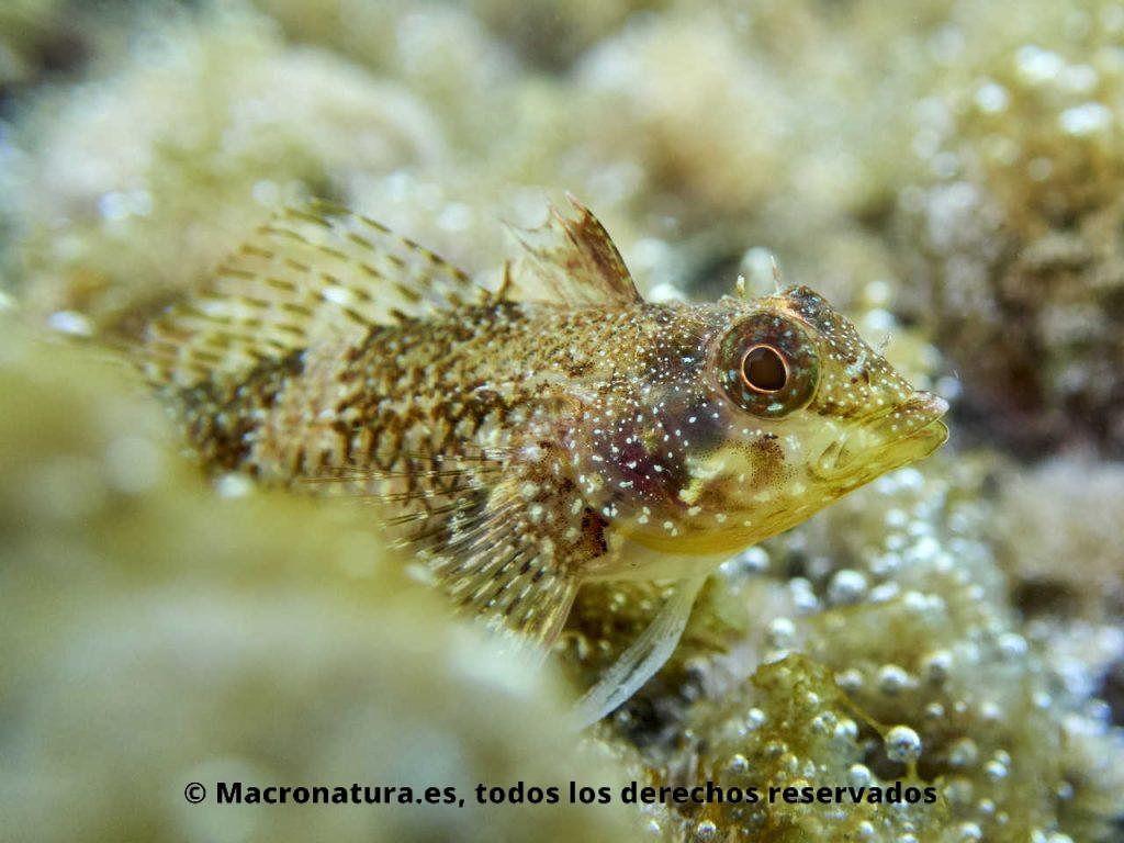 Blenio del mediterráneo Tripterygion tartessicum. Detalle cabeza de hembra.