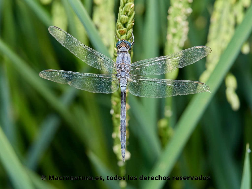 Libélula Orthetrum trinacria sobre un tallo de una planta de arroz. Cuerpo entero.