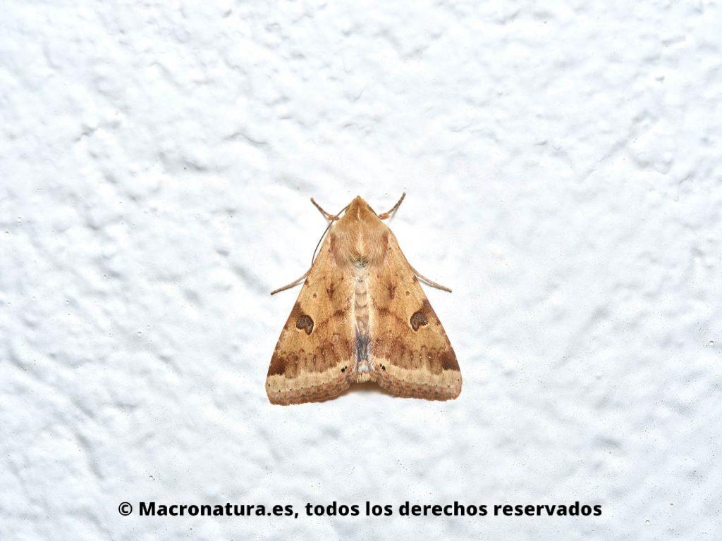 Polilla Heliothis peltigera sobre una pared blanca. Cuerpo entero.