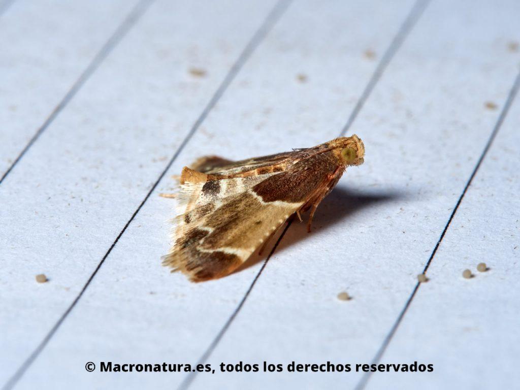 Polilla Parda de la Harina Pyralis farinalis. Vista lateral.